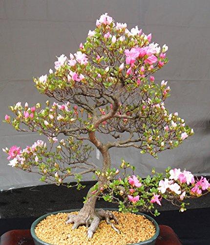 Условия для выращивания сакуры 678