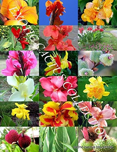 Canna Lily Mix Exotic Tropical Flowering Pond Ginger