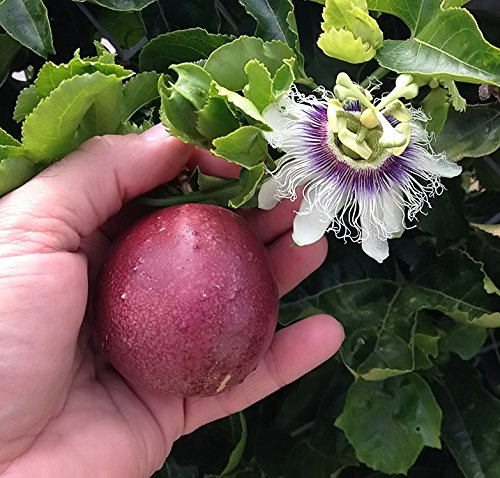 Cold hardy red rover passiflora edulis edible purple passion cold hardy red rover passiflora edulis edible purple passion flower fruit vine live plant mightylinksfo